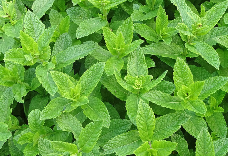 eopeppermint